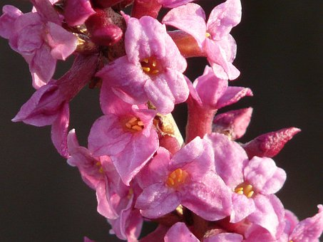 Daphne, Flower, Spring, Blossom, Bloom, Bloom, Color