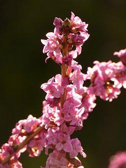 Daphne, Plant, Blossom, Bloom, Bloom, Colorful, Spring