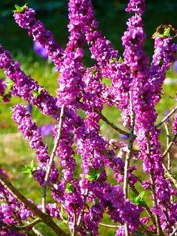 Daphne, Plant, Blossom, Bloom