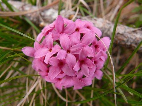Rosemary Daphne, Heideröschen, Daphne, Flower, Plant