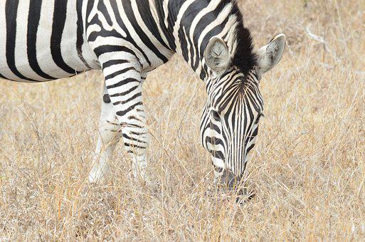 Zebra, Africa, Savannah, South Africa