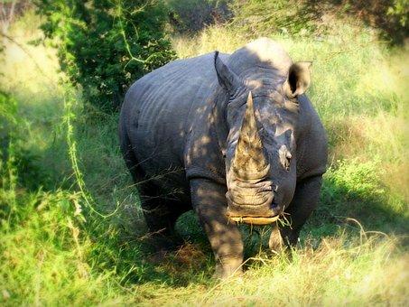 Africa, South Africa, Wildlife, White Rhinoceros