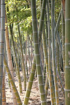 Bamboo, Yellow Bamboo, Vs Grove