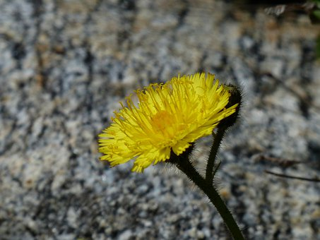 Alpine Hawkweed, Flower, Blossom, Bloom, Plant, Yellow