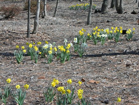 Daffodils, Forest, Floor, Spring, Flowers, Natural