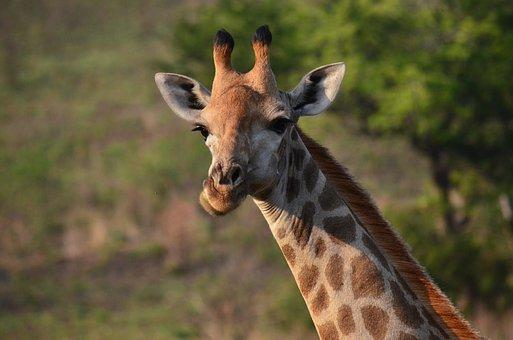 Giraffe, Africa, Savannah, South Africa