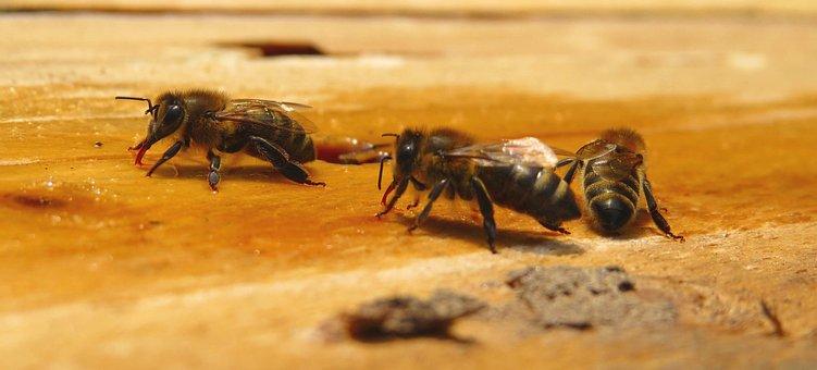 Bee, Bees, Honey Bees, Honeybees