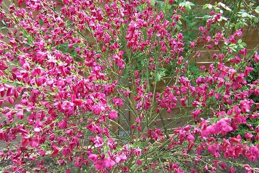 Broom, Red Broom, Gorse In Bloom