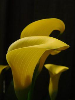 Lily, Calla Lily, Flower, Yellow, Plant