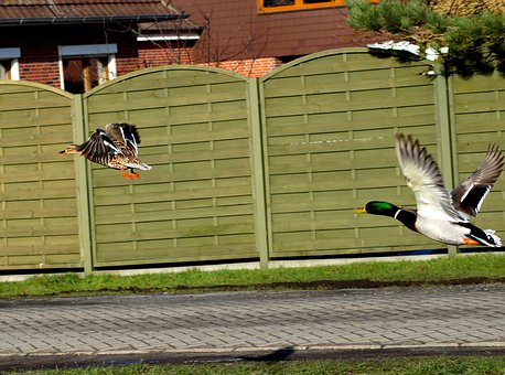 Duck, In Flight, Water Bird, Startled
