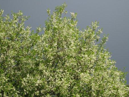 Bird Cherry, Bird Cherry Flowers, Sky, Spring