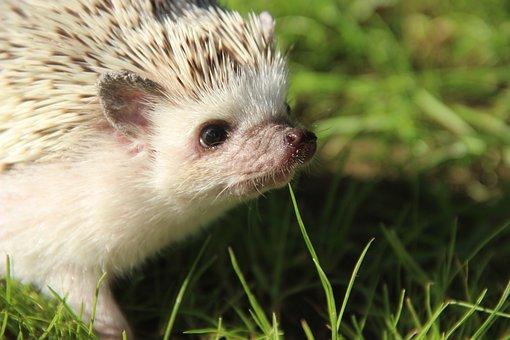 African, Dwarf, Hedgehogs, Cute, Pet