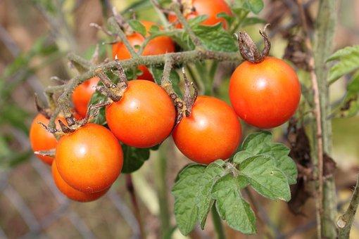 Cherry, Flavor, Green, Matina, Raw, Red, Ripe, Tomato