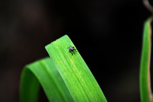 Fly, Plant, Close-up, Red-eyed