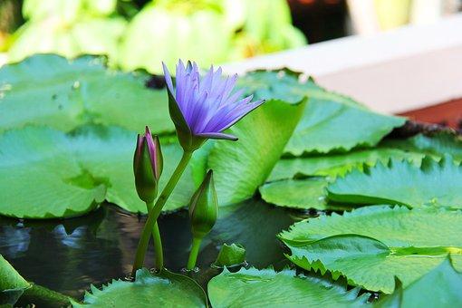 Water Lily, Lilac, Anantara, Hua Hin, Thailand, Holiday