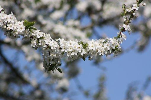 Spring, Denmark, Flowers, Apple, Branch, Blue, White