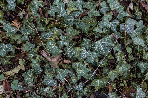 Autumn Colours, Autumn Leaf, Ivy, Ivy-leaf Geranium