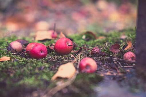 Autumn, Apple, Fruit, Windfall, Moss, Depth Of Field