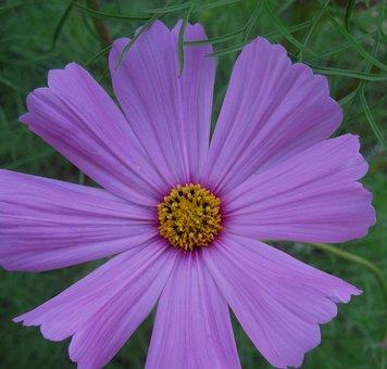 Flower, Bloom, Wild, Simple, Pretty, Daisy-like, Purple