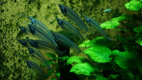 Fish, Transparent, Water, Underwater, Fishtank