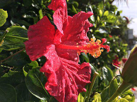 Hibiscus, Flower, Flowers, Red, Rose, Love, Natural