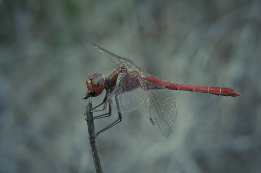 Dragonfly, Eat, Fly, Close, Nature, Insect, Prey, Macro