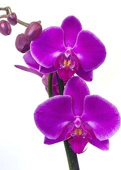 Orchid, Phalaenopsis, Pink, Purple, Flower, Exotic