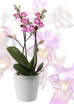 Orchid, Phalaenopsis, Yellow, Red Lips, Striped, Flower