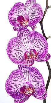 Orchid, Phalaenopsis, Pink, Purple, Striped, Flower