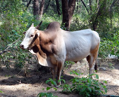 Bull, Bovine, Animal, Forest, India, Farm, Mammal