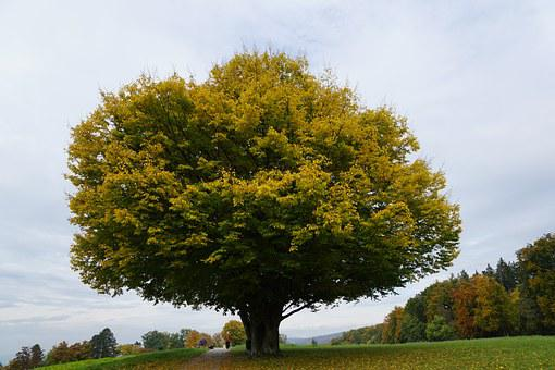 Tree, Meadow, Autumn, Age, Park, Zollikon, Zurich, Walk