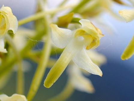 White Wood Hyacinth, Blossom, Bloom, Wild Flower