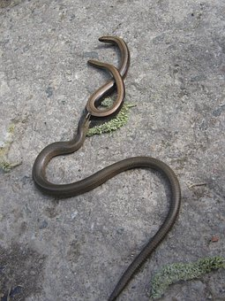 Slow Worm, Lizard, Snake, Reptile