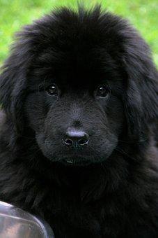 Dog, Newfoundland, Pet, Black, Cute, Giant