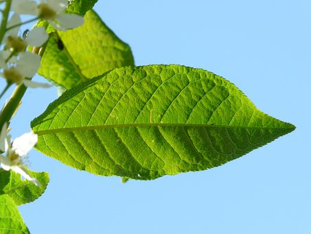 Common Bird Cherry, Leaves, Prunus Padus, Green