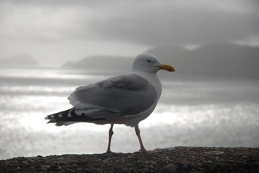 Gull, Ireland, Dingle, Slea Head, Castlecove, Ventry