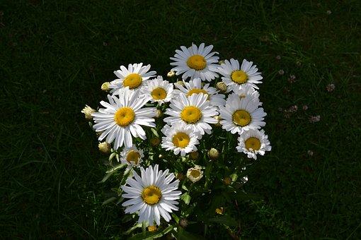 Daisy, Daisies, Flower, White, Cottage Garden