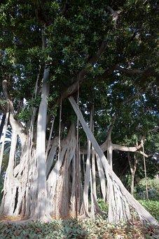 Ficus Macrophylla, Plant, Huge, Leaves, Green, Nature