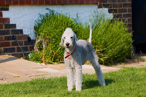Bedlington Terrier, Bedlington, Terrier, Dog, Canine