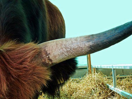 Horn, Animals, Horns, Beef, Agriculture, Ruminant, Cow