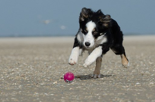 Border Collie, Running Dog, Most Beach, Collie