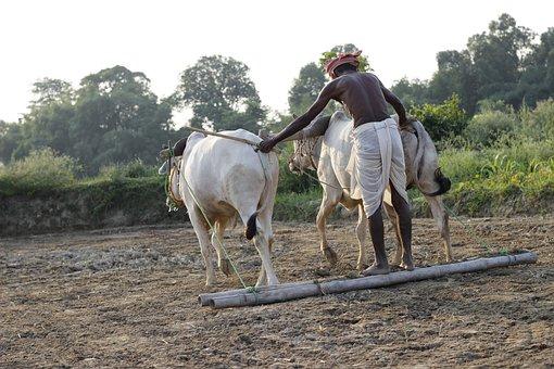 Plough, Animal, India, Farm, Field, Agriculture, Rural