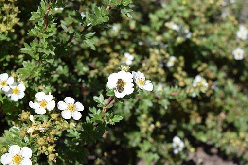 Flower, Bee, August, Wild Rose, Honey