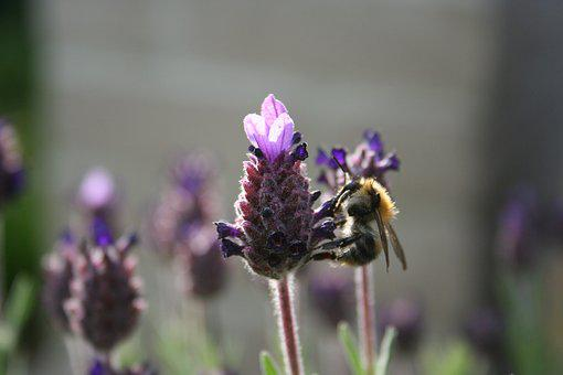 Bee, Nature, Lavender, Bees, Flower, Close Up, Bug