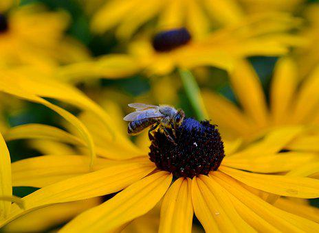 Ordinary Sonnenhut, Honey Bee, Rudbeckia Fulgida
