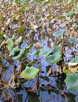 Lotus, Plants, Aquatic, Water Lily, Nymphaea Caerulea