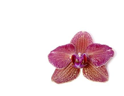 Phalaenopsis, Orchid, Phalaenopsis Orchid, Tropical