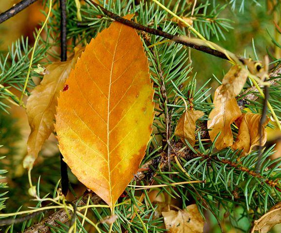 Autumn, Leaves, Tree, Autumn Leaf, Yellow Leaves