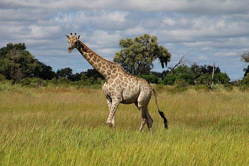 Giraffe, Africa, Savannah, Safari