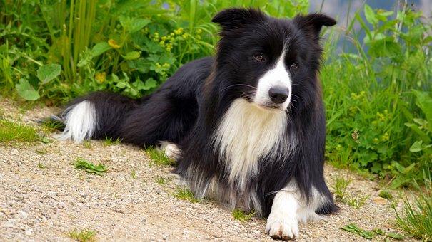 Dog, Border, Collie, British Sheepdog, Purebred Dog